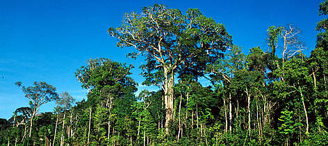 "Mahogany tree (Swietenia macrophylla) or ""Caoba"" in the local language Emergent along the ... rel="