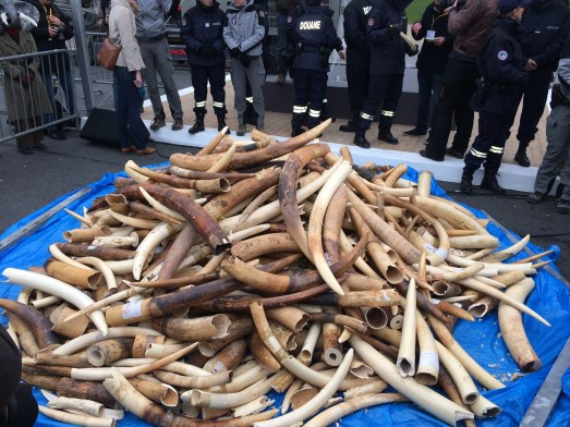 Image result for Illegal Ivory