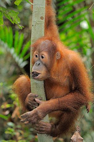Orangutanes jóvenes se ejercen y