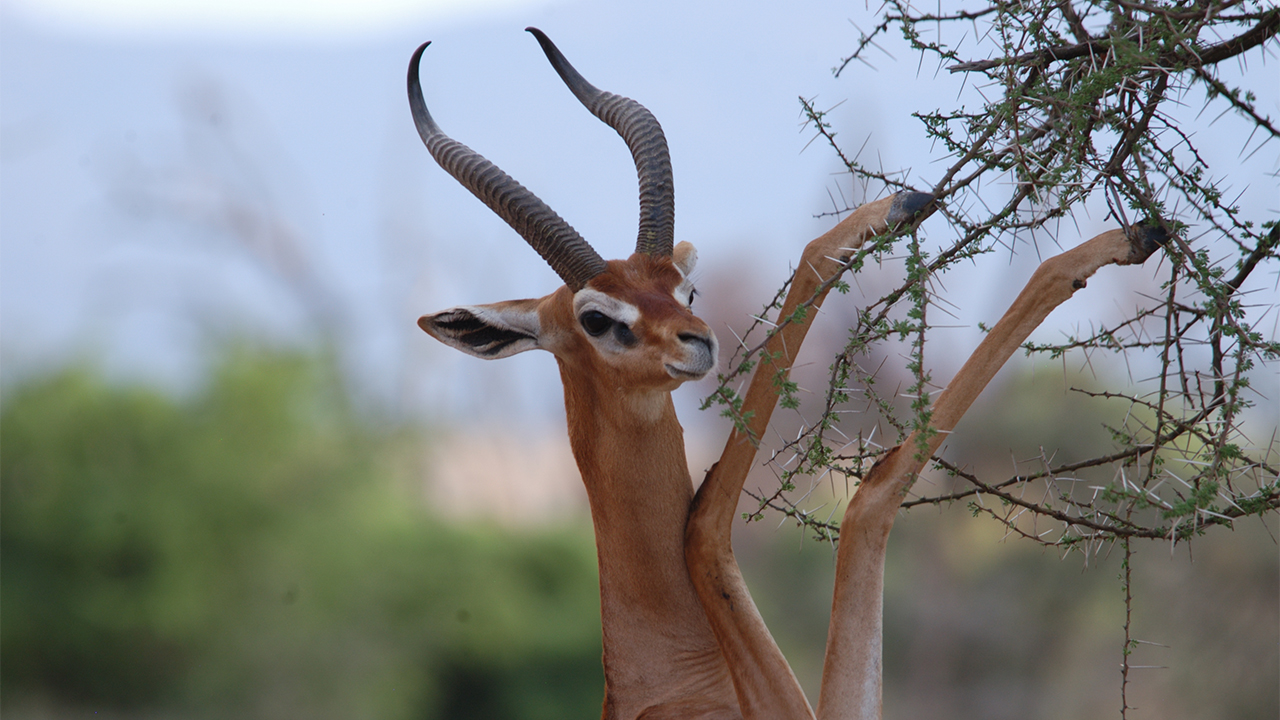 Image result for gerenuk
