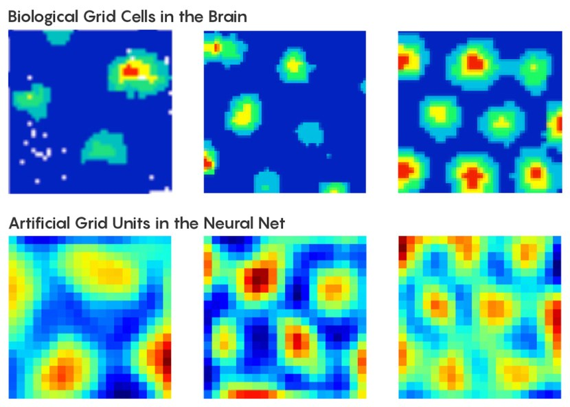 Graphic comparing the differences between biological grid cells in the brain versus artificial grid units in the neural net.