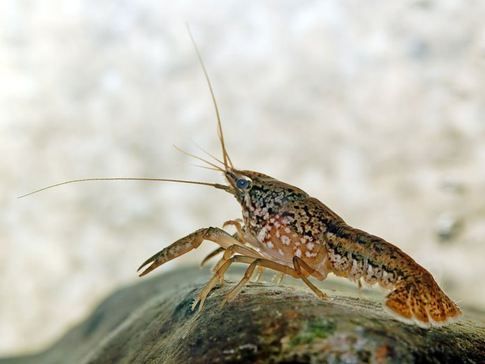 Photograph of a marbled crayfish on the floor of an aquatic scene.