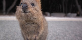 The cute Quokka increase the chances of Rottnest Island's Tourism