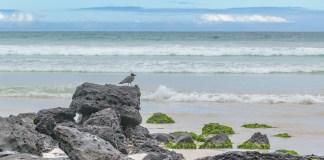 Grey bird at rocks on a beach, Galapagos, Ecuador