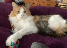 fluffy orange and white cat with green eyes laying on a purple blanket