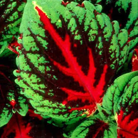 Coleus Shade Kong Red Friends School Plant Sale