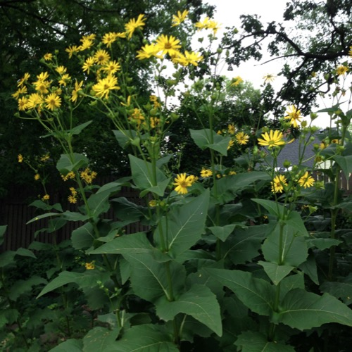 Cup Plant   Wild Cup Plant   Friends School Plant Sale Silphium perfoliatum  yellow sunflower flowers and cupped leaves