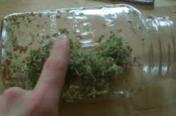 broccoli-sprouts-germinating