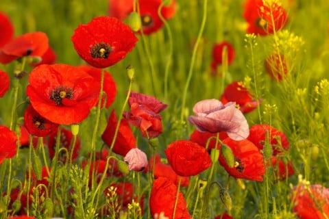 花の畫像について: 無料印刷可能雛罌粟 花言葉