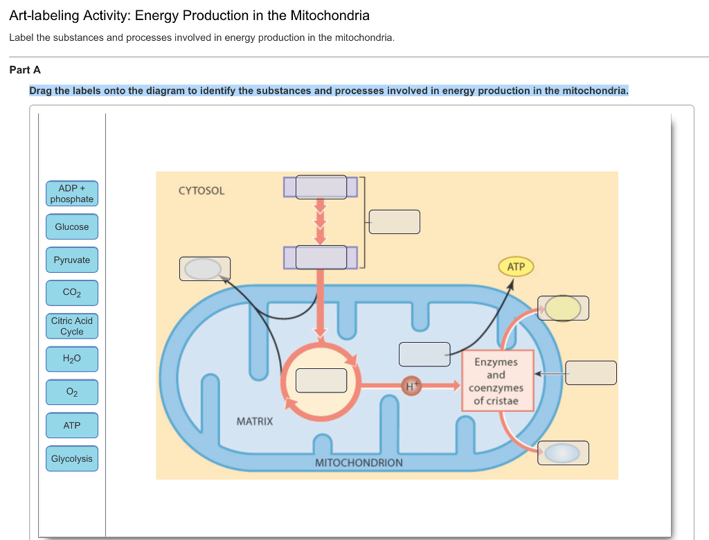 Solved Energy Production In The Mitochondria Label The Su