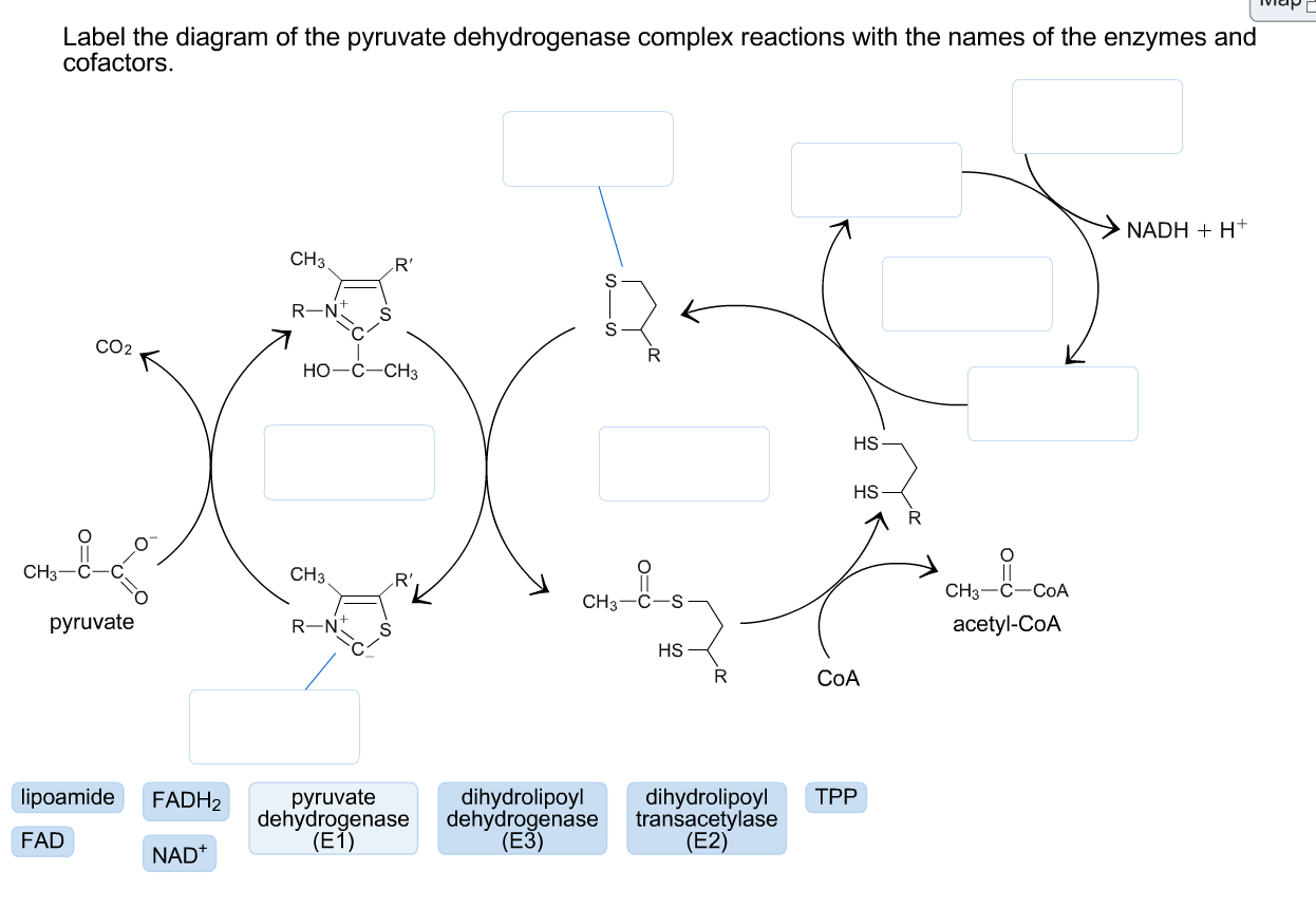 Solved: Label The Diagram Of The Pyruvate Dehydrogenase Co