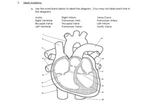 Solved: Heart Anatomy A Use The Word Bank Below To Label
