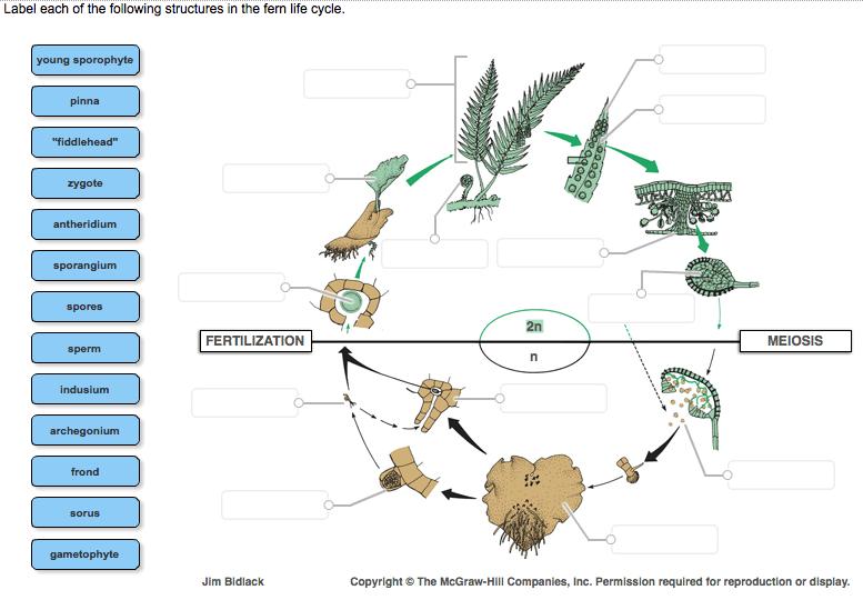 Gametophyte And Sporophyte Diagram