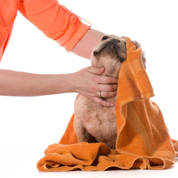 Pet groomer towels off a freshly showered french bulldog