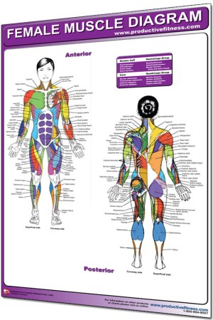 Poster Female Muscle Diagram  Laminated  Physique