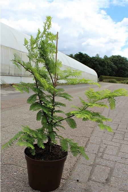 Lubera Urweltmammutbaum Gold Rush