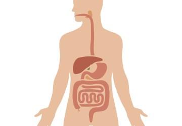 organ pencernaan saat puasa