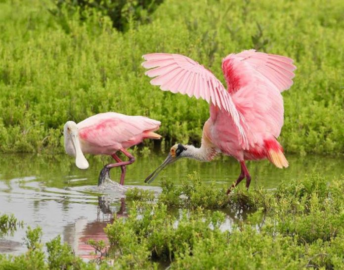 Roseate Spoonbills South Padre Island