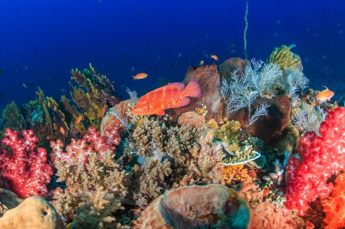 A colorful coral grouper on a healthy tropical coral reef