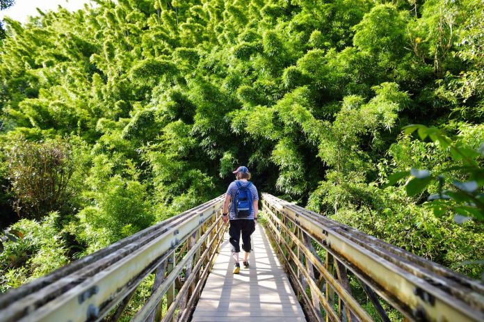 Tourist following the path through dense bamboo forest, leading to famous Waimoku Falls in Hawaii