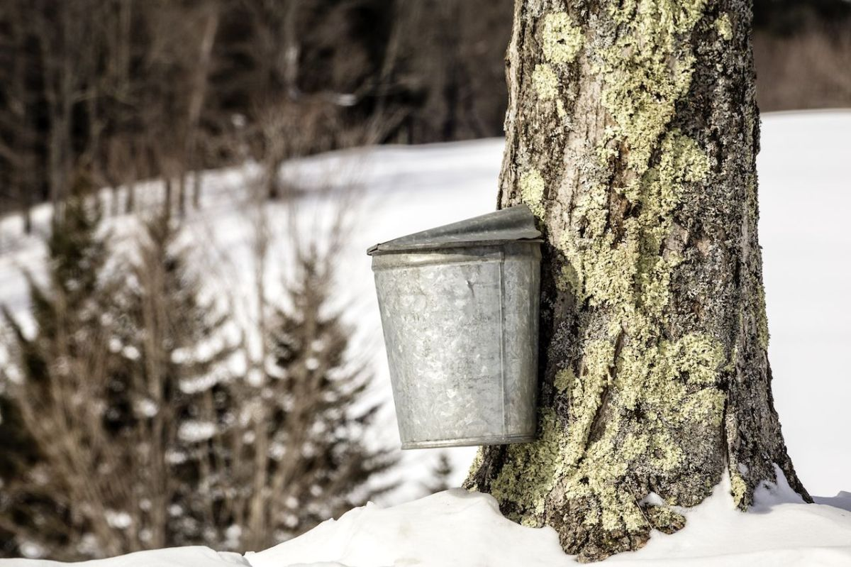 A maple tree being tapped for sap during the maple syrup season