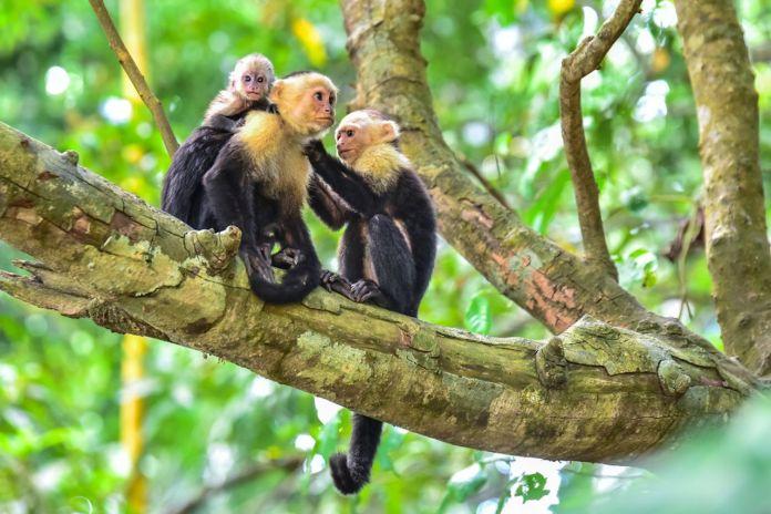 Capuchin Monkeys on branch of tree