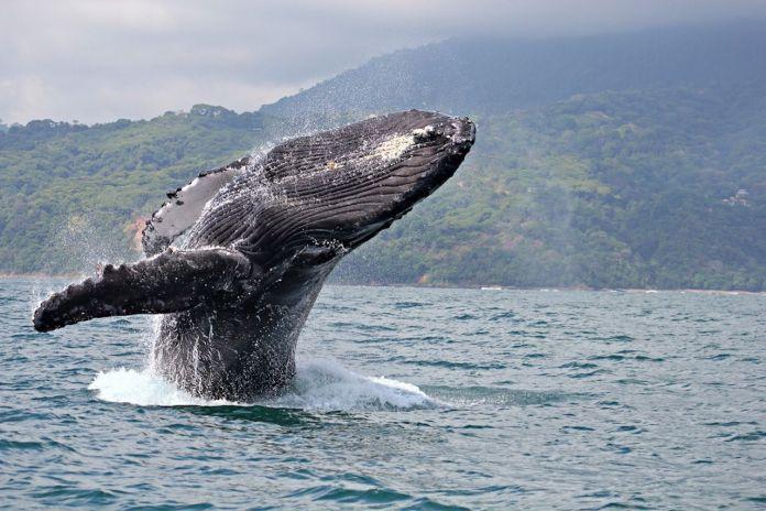 Humpback whale breaching in Marino Ballena National Park, Costa Rica