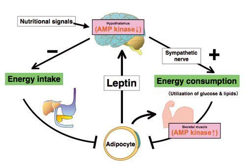 leptin.jpg