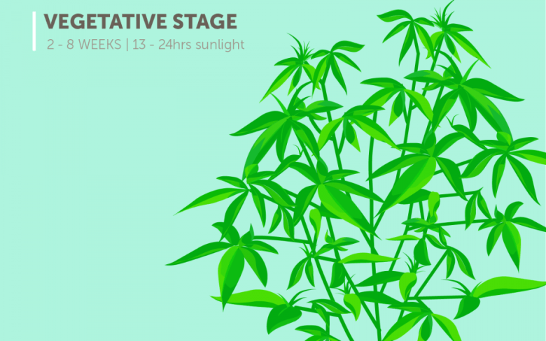marijuana plant growth stages: vegetative stage (2-8 weeks), 13-24 hours of sunlight