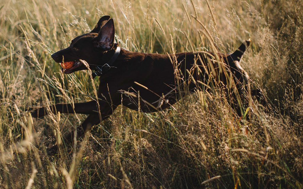 CBD for dogs and cats: cbd for dogs with arthritis
