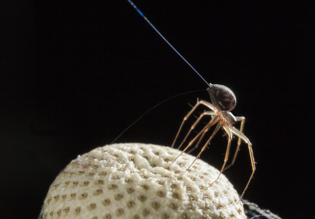 "When spiders sense an electric field, they stick their spinnerets into the air and release silk. Called ""tiptoeing,"" this means spiders are ready for take-off. Photo by Michael Hutchinson"