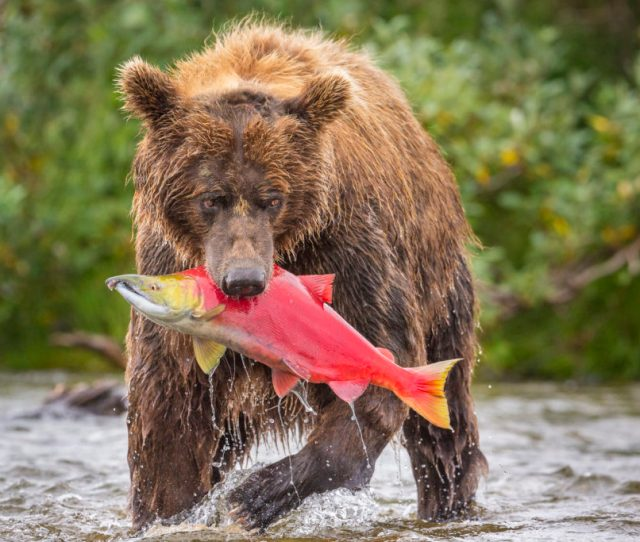 Front View Of Alaska Peninsula Brown Bear Ursus Arctos Horribilis With Freshly Caught Sockeye