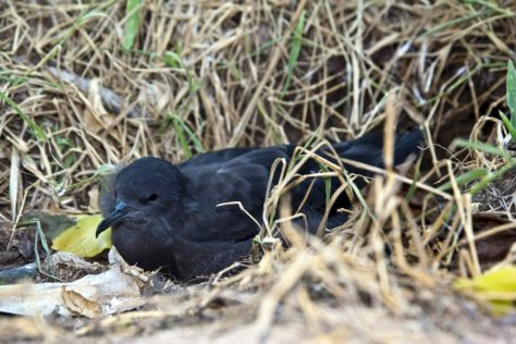 A fledgling short-tailed shearwater (Puffinus tenuirostris) on Heron Island, Australia. Shearwaters migrate north of the Bering Strait in the northern summer. Photo by Auscape/Universal Images Group via Getty Images
