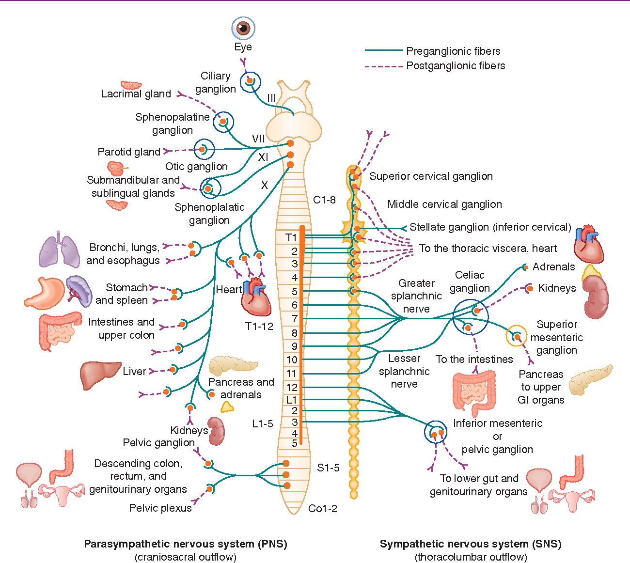 Table 12 1 From Chapter 12 Autonomic Nervous System