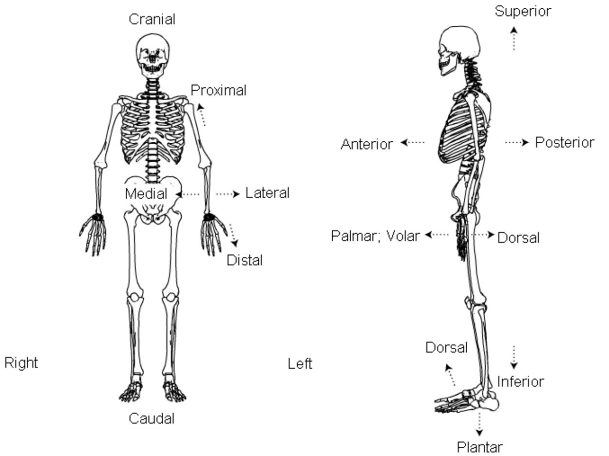 Anatomy Terms
