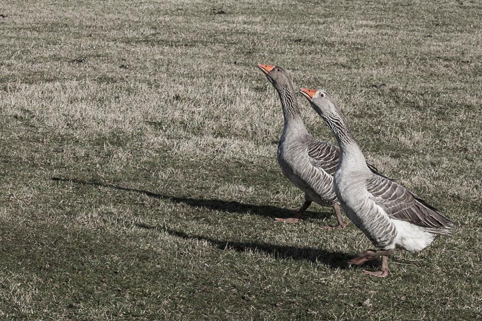 Goosestepping