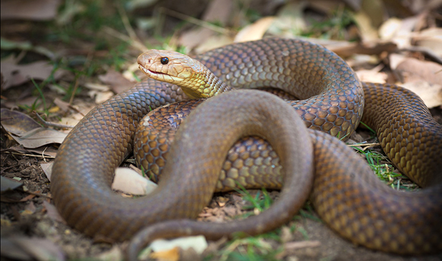 Image result for australian snakes images