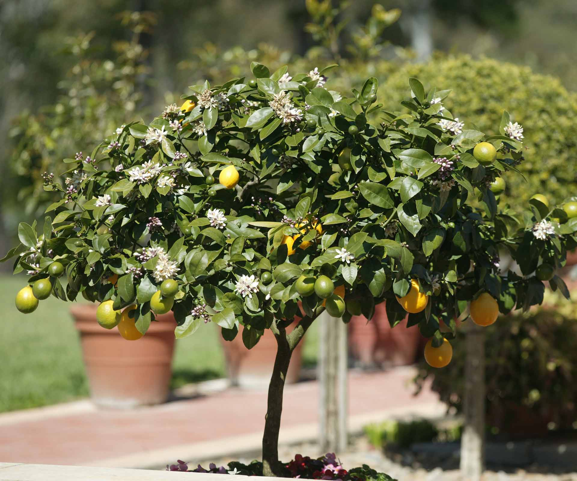 fruit on your citrus trees