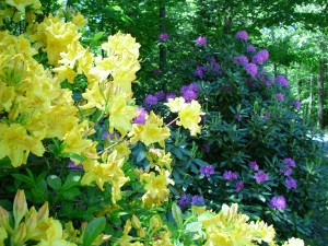 Deciduous azaleas and rhododendrons can be pruned after they bloom, but before mid July.