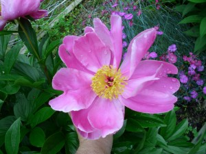 Peony is a long lasting perennial that needs plenty of room. The buds often fail to open if they are infested with thrips.