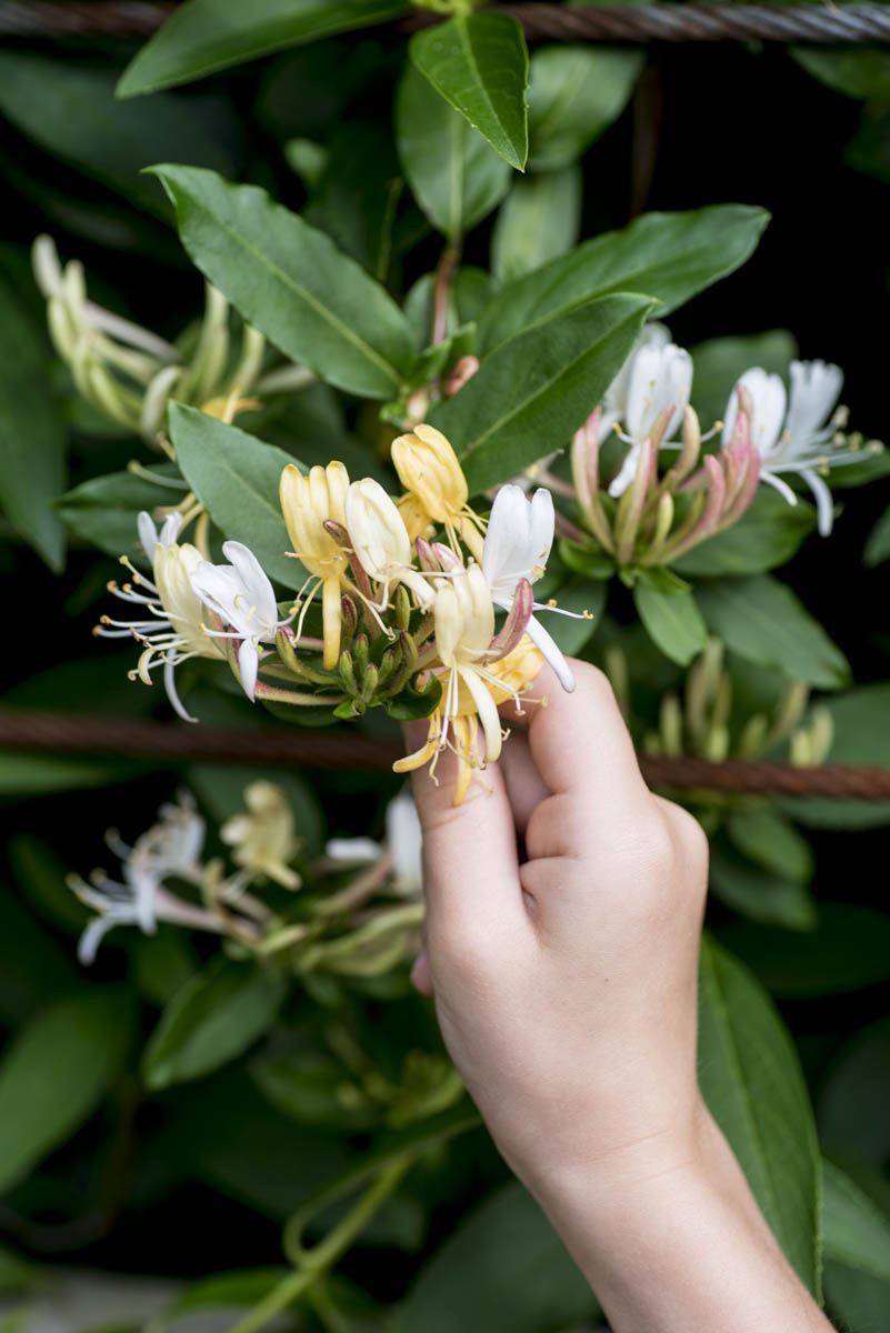 What is the use of honeysuckle