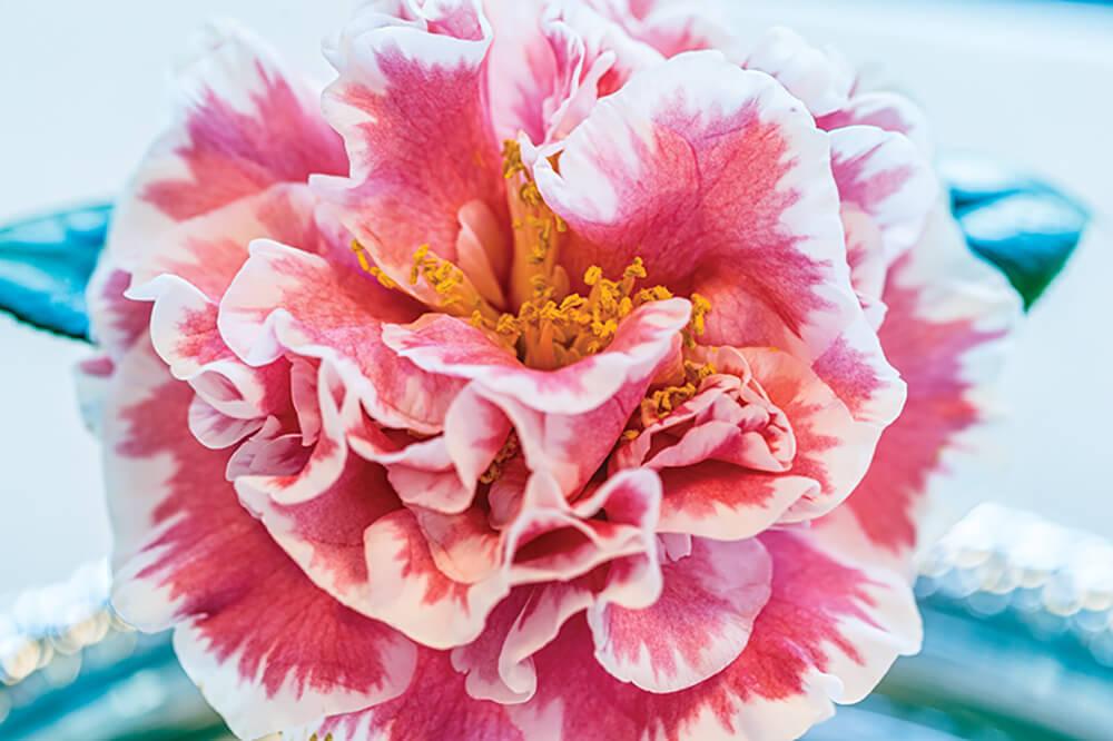 camellia peppermint