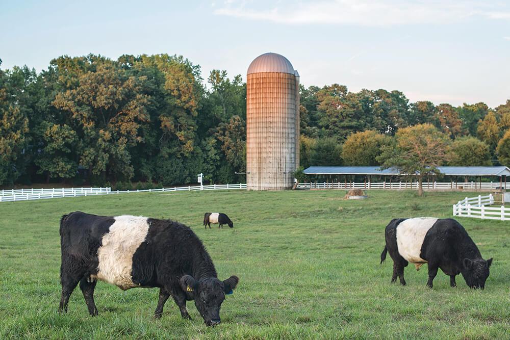 fearrington house inn cows