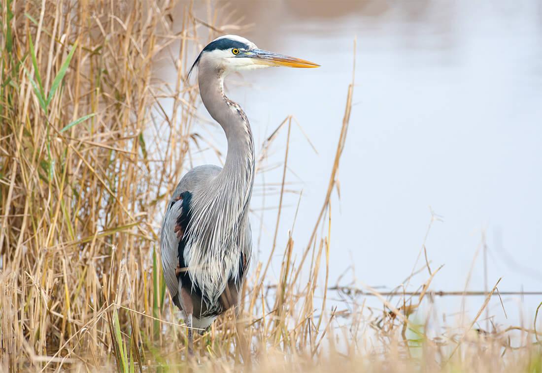 lake mattamuskeet blue heron