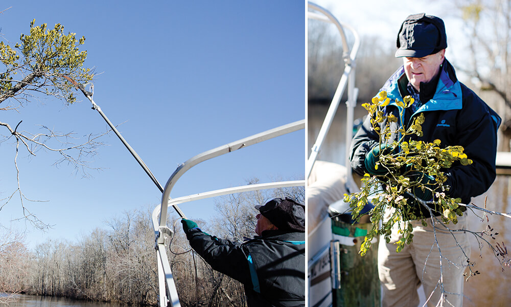 Mistletoe is North Carolina's Most Romantic Parasite