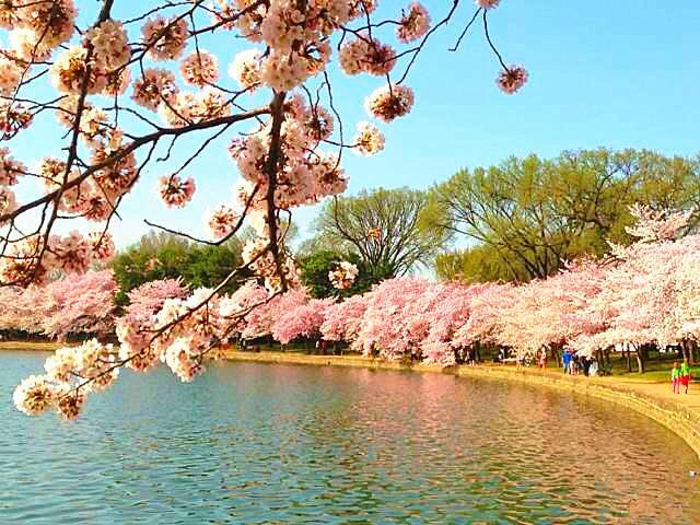 Cherry Blossom Washington Dc Cruises