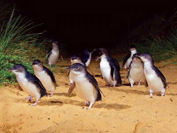 Penguin Parade with Underground and Penguins Plus Day Tour