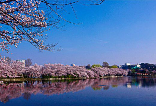 Spring in Full Bloom! Cherry Blossom Viewing Spots in Tokyo & Buffet Lunch