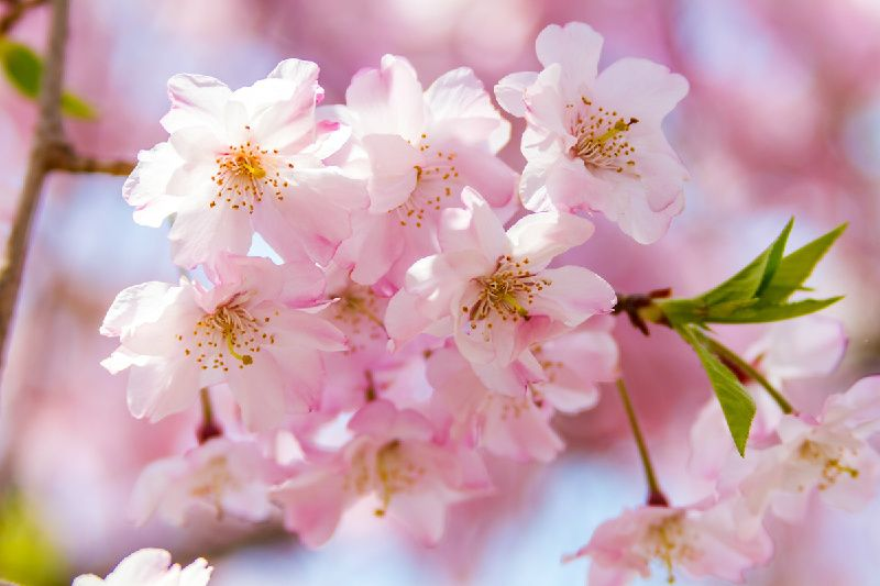 Five Kyoto Cherry Blossoms Viewing Spots Day Tour From Nagoya