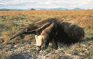Um tamanduá-bandeira (Myrmecophaga tridactyla) em seu habitat natural